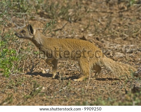 A typical Mongoose is a brave killer of poisonous snakes