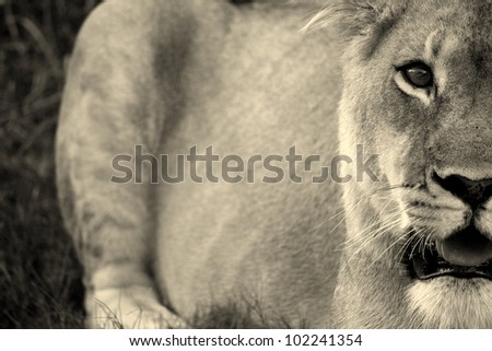 A unique abstract monochrome photo of a lioness in Pumba game reserve,eastern cape,south africa