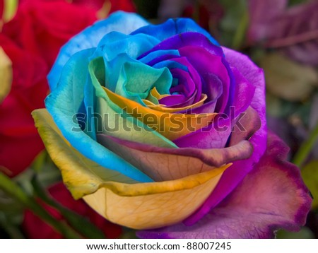 A unique and very special rainbow rose