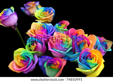 A unique and very special rainbow roses, isolated in black