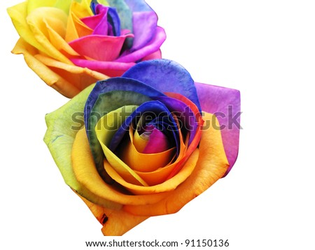 A unique and very special rainbow roses, isolated in white