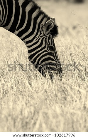 A unique composition in this monochrome photo taken of a Burchells zebra in the Eastern Cape,South Africa