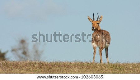 A unique composition of this mountain reedbuck antelope taken at a low angle while on safari in eastern cape,south africa