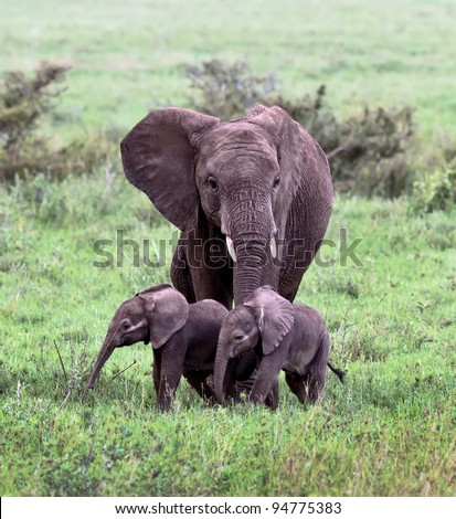 A unique female elephant with two of the young in the Serengeti National Park - Tanzania, Africa