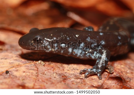 A unisexual Ambystoma salamander from the great-lakes region of the united states.  They contain genomes from several other species, included the blue-spotted salamander and the jefferson's salamander