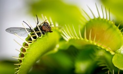 a unlucky common house fly being eaten by a hungry venus fly trap plant