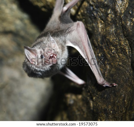 A vampire bat baring its fangs for the camera - stock photo