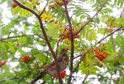 A variegated bird sits on a rowan tree, eating berries. Red rowan berries. Summer photo. The bird is hawthorn berries. The beak is opened and it is visible tongue