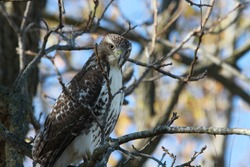 A variety of Hawks can be found in North America.  There  are two main species. Namely the Red-tailed and the Cooper's hawk.