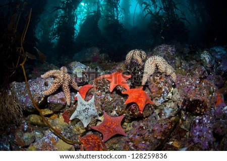 A variety of seastars, mainly batstars, crawl over the rocky bottom of a Monterey kelp forest searching for a meal.  Many colorful creatures are found living among the kelp forests of California.