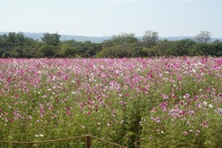A vast field of cosmos flowers. Cosmos field.