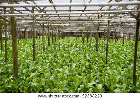 A vegetable farm growing mustard greens. Selective focus.