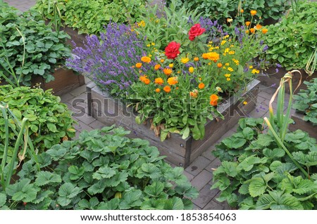 A vegetable garden with raised wooden beds with strawberries, garlic and flowers in July Foto stock ©