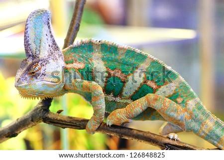 A veiled chameleon (Chamaeleo calyptratus) walking on a branch