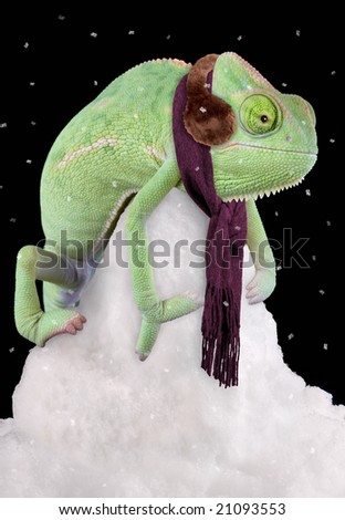 A veiled chameleon is sitting on a snow pile wearing a scarf and ear muffs.