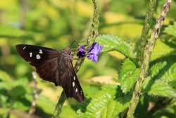 A velvety brown butterfly with white spots mark this hammock skipper among purple flowers and lush green foliage.