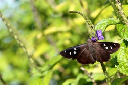 A velvety brown butterfly with white spots mark this hammock skipper in the keys of Florida.