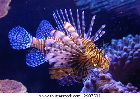 stock-photo-a-venomous-fish-in-eilat-aqu