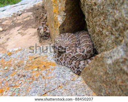 A venomous snake, the Great Basin Rattlesnake, Crotalus oreganus lutosus, hiding in a rock cavity waiting for prey in ambush position