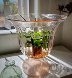 A Venus fly trap (Dionaea muscipula) is displayed in a large pink depression glass vase which increases humidity for this carnivorous plant. A 6-inch flower from the plant is in the frame.