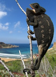 A vertical closeup of a common chameleon on a tree branch in Ghajn Tuffieha Bay in Malta