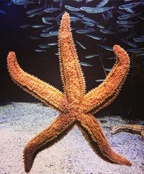 A vertical closeup of a starfish and fish underwater