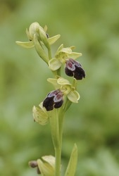 A vertical closeup shot of a blooming wild sombre-bee orchid