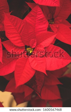 A vertical closeup shot of festive red Mexican Poinsettias spreading Christmas atmosphere