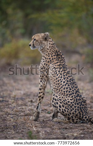 A vertical, full length, colour photograph of a cheetah, Acinonyx jubatus, sitting on the dry earth in the Greater Kruger Transfrontier park. #773972656