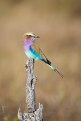 A vertical, full length, colour photograph of a lilac-breasted roller,Coracias caudatus, perching on a dead stump in front light against a clear beige background in the Okavango Delta, Botswana.