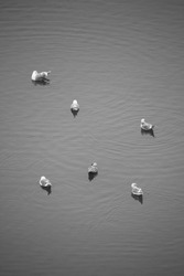 A vertical greyscale shot of ducks swimming in a la
