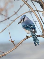 A vertical shot of a beautiful blue jay bird (Cyanocitta cristata) sitting on a branch of a tree
