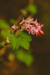 A vertical shot of a blooming redflower currant
