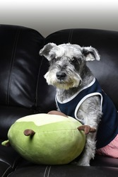 A vertical shot of a cute domestic Miniature Schnauzer with a pillow toy sitting on a sofa