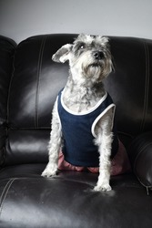 A vertical shot of a cute miniature schnauzer wearing a blue shirt and sitting on a sofa