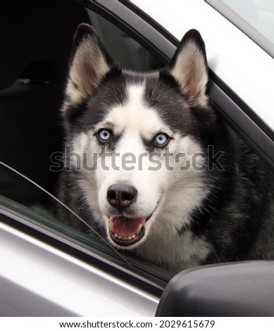A vertical shot of a husky on a car in Vancouver, Canad Foto stock ©