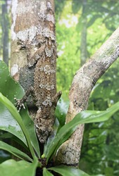 A vertical shot of a Leaf-tail geckos on a tree