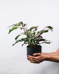 A vertical shot of a male holding a Calathea white fusion potted plant near a white wall