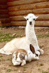 A vertical shot of an Alpaca sitting near the rabbit