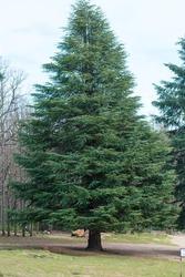 A Vertical shot of Blue Atlas cedar tree (Cedrus Atlantica) in its natural habitat