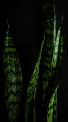 A vertical shot of fresh green sansevieria leaves in front of a black background