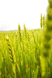 A vertical shot of green wheat field on white sky background