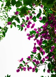 A vertical shot of violet clipart bougainvillea flowers on a white sky background