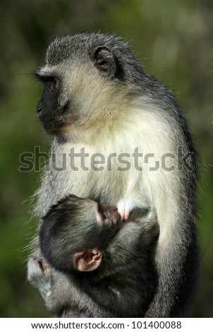 A vervet monkey breast feeding her baby in Addo Elephant Park, Eastern Cape,South Africa