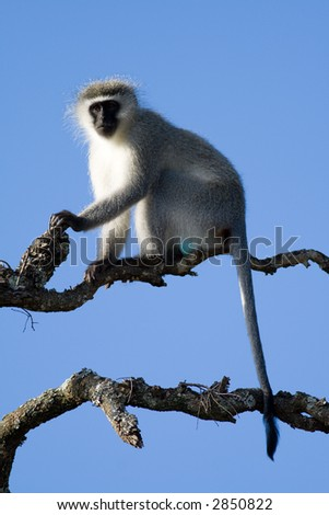 A Vervet Monkey lookout about to call the alert from the top of a Schotia tree in Addo Elephant National Park, South Africa