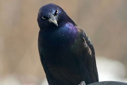A very angry, mad, Common Grackle giving an evil look.  This bird looks disgusted. It's a close up, front view of the bird with piercing, glowing, yellow eyes. His feathers are blue, purple, and green
