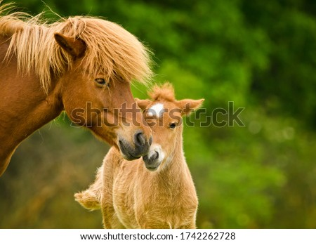A very beautiful chestnut foal of an icelandic horse is sniffling and tweaking it`s sorrel mother, grooming  Stock photo ©