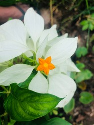 A very beautiful flower with two colors