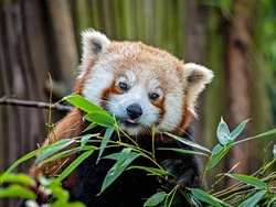 A very beautiful red Panda sits on a tree between branches with bamboo leaves