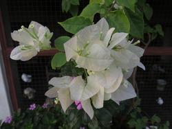 A very beautiful white bougainvillea